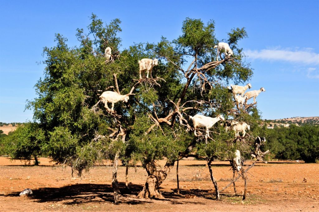Morocco's Goat Trees